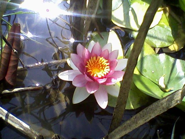 Australian bush flower essences emotional freedom techniques lotus australian bush flower essences mightylinksfo